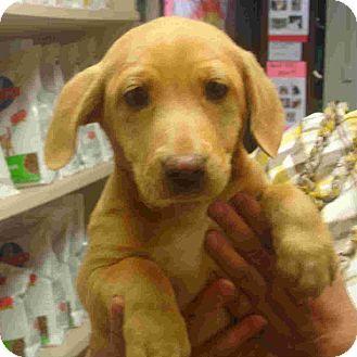 Dachshund/Labrador Retriever Mix Puppy for adoption in Manassas, Virginia - Big Bertha