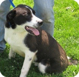 Border Collie/Labrador Retriever Mix Dog for adoption in Chicago, Illinois - Squirt (ADOPTED!)