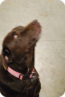 Labrador Retriever Dog for adoption in Waterbury, Connecticut - Leia