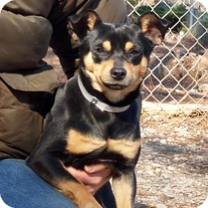 Chihuahua/Terrier (Unknown Type, Small) Mix Dog for adoption in Athens, Georgia - Squiggy