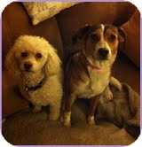Beagle Mix Dog for adoption in Foster, Rhode Island - Maizey-I'm in New England!