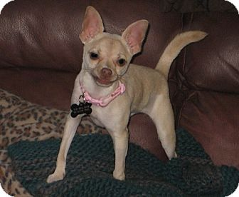 Chihuahua Mix Puppy for adoption in San Diego, California - Pinky