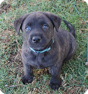 Labrador Retriever/German Shepherd Dog Mix Puppy for adoption in La Habra Heights, California - Chuck