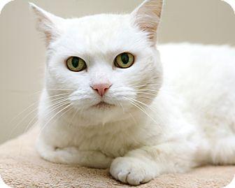 Domestic Shorthair Cat for adoption in Bellingham, Washington - Stella
