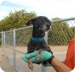 Chihuahua Mix Dog for adoption in Mesa, Arizona - Ulysses