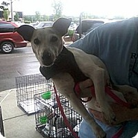 Jack Russell Terrier Dog for adoption in Columbia, Tennessee - Patrick