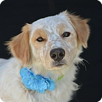 Adopt A Pet :: Candy - Plano, TX