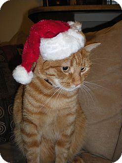 Domestic Shorthair Cat for adoption in Carlisle, Pennsylvania - Charlie (CP)