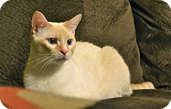 Siamese Cat for adoption in Chattanooga, Tennessee - Mr. Buttersworth
