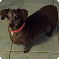 Adopt A Pet :: Penny - oh my word sweet x 100 - Phoenix, AZ