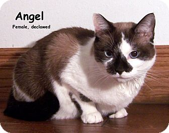 Snowshoe Cat for adoption in Oklahoma City, Oklahoma - Angel