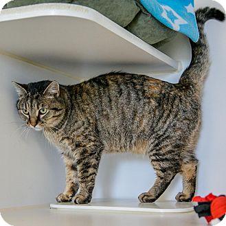 Domestic Shorthair Cat for adoption in Staunton, Virginia - Little One