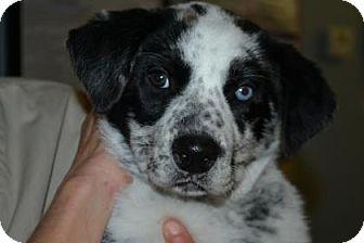 Husky/Australian Cattle Dog Mix Puppy for adoption in Edwardsville, Illinois - Oreo
