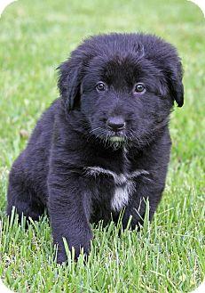 Labrador Retriever/Flat-Coated Retriever Mix Puppy for adoption in Fishkill, New York - MADISON