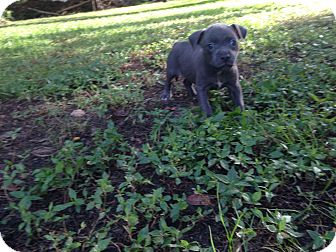 American Pit Bull Terrier Mix Puppy for adoption in Hampton, Virginia - 4 blue/white pitbull pups
