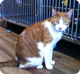 Domestic Shorthair Cat for adoption in Port Hope, Ontario - K2