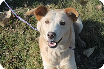 Cattle Dog/Labrador Retriever Mix Dog for adoption in Pittsburg, Kansas - Butters