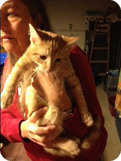 Domestic Shorthair Kitten for adoption in Troy, Ohio - Anakin