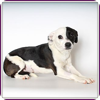 Terrier (Unknown Type, Medium)/Beagle Mix Dog for adoption in Glendale, Arizona - Yin Yang