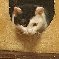 Domestic Shorthair Cat for adoption in New york, New York - Pepper