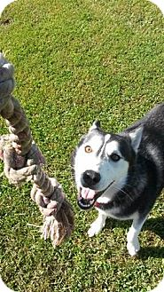 Siberian Husky Mix Dog for adoption in Tweed, Ontario - Hercules