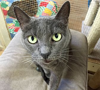 Domestic Shorthair Cat for adoption in Wilmington, Delaware - Jingles