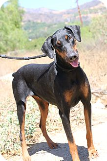 Doberman Pinscher Dog for adoption in Fillmore, California - Gypsy