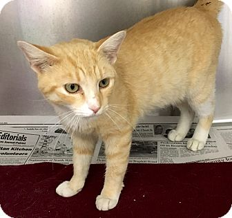 Domestic Shorthair Kitten for adoption in North Wilkesboro, North Carolina - Linus