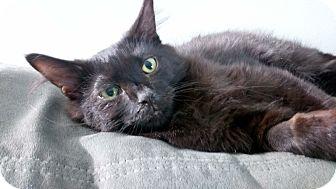 Domestic Longhair Kitten for adoption in Columbus, Ohio - Thorin