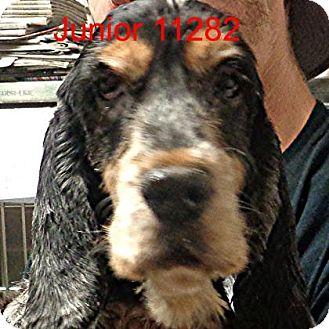 Cocker Spaniel Dog for adoption in Manassas, Virginia - Junior