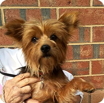 Yorkie, Yorkshire Terrier Mix Dog for adoption in Mount Pleasant, South Carolina - Ziggy