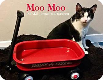 Domestic Shorthair Cat for adoption in Hamilton, Ontario - Moo Moo
