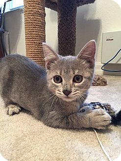 Domestic Shorthair Kitten for adoption in Tampa, Florida - Trixie