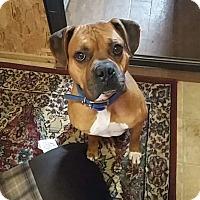 Boxer/Mastiff Mix Dog for adoption in Ashburn, Virginia - Tyler