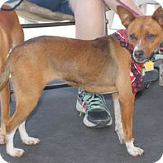 Rat Terrier Mix Dog for adoption in Paso Robles, California - Salsa