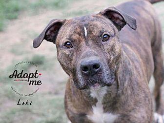 American Staffordshire Terrier/Pit Bull Terrier Mix Dog for adoption in Jefferson City, Missouri - Loki