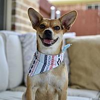 Adopt A Pet :: Piper - Frisco, TX