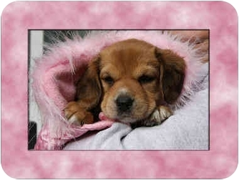 Beagle Mix Puppy for adoption in Portland, Oregon - Sydney Earlene