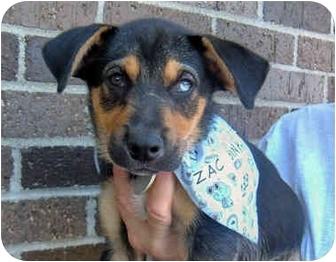 Husky/Hound (Unknown Type) Mix Puppy for adoption in Powell, Ohio - Zac