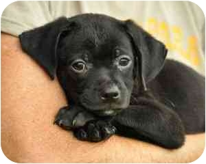 Terrier (Unknown Type, Small)/Labrador Retriever Mix Puppy for adoption in Portsmouth, Rhode Island - Mickey