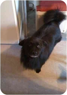 American Eskimo Dog/Chow Chow Mix Dog for adoption in Youngwood, Pennsylvania - smokey