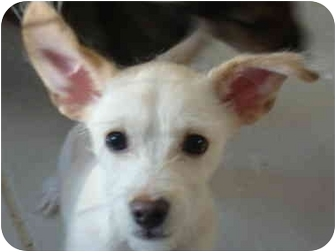 Cairn Terrier/Terrier (Unknown Type, Small) Mix Puppy for adoption in Phoenix, Arizona - Wally - wirehaired cutie!