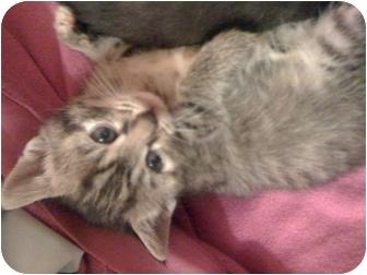 Domestic Mediumhair Kitten for adoption in Atlanta, Georgia - Madeleine (1 mo old on 4/19!)