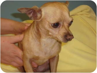 Chihuahua/Chihuahua Mix Dog for adoption in Bristow, Oklahoma - Marco