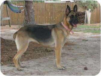 German Shepherd Dog Dog for adoption in Houston, Texas - Guinevere