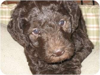 Labrador Retriever/Poodle (Standard) Mix Puppy for adoption in Evergreen, Colorado - Legacy