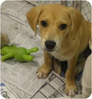 Labrador Retriever Mix Puppy for adoption in Newburgh, Indiana - Blondie