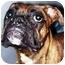 Photo 2 - Boxer Dog for adoption in Oswego, Illinois - I'M ADOPTED Brie Serdynski