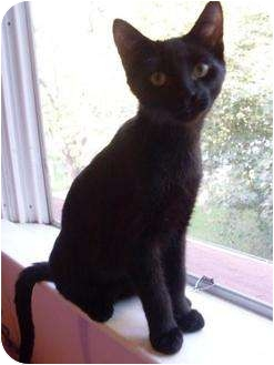 Domestic Shorthair Kitten for adoption in Brighton, Michigan - Snake