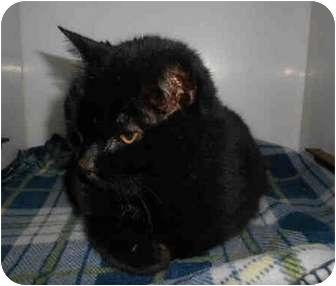 Domestic Mediumhair Cat for adoption in Yuba City, California - Shadee